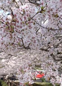 カードック弘成 大原桜