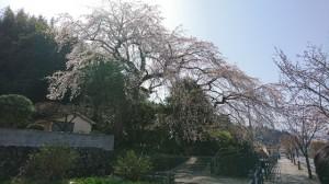 大原しだれ桜