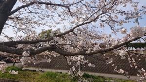 桜3月27日2(大分県日田市のロードサービスと車屋のカードック弘成)