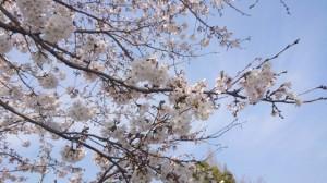 桜3月27日(大分県日田市のロードサービスと車屋のカードック弘成)