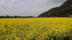 バサロの菜の花(大分県日田市のロードサービスと車屋のカードック弘成)