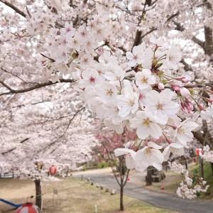 31年桜3(大分県日田市のロードサービスと車屋のカードック弘成)