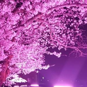 31年桜2(大分県日田市のロードサービスと車屋のカードック弘成)