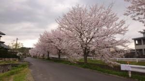 31年桜4