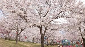 31年桜5(大分県日田市のロードサービスと車屋のカードック弘成)