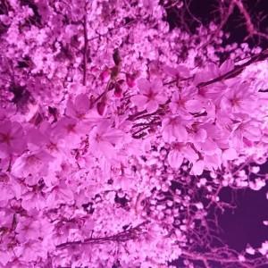 31年桜(大分県日田市のロードサービスと車屋のカードック弘成)